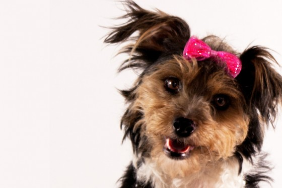 Photograph of a Dog with a pink bow